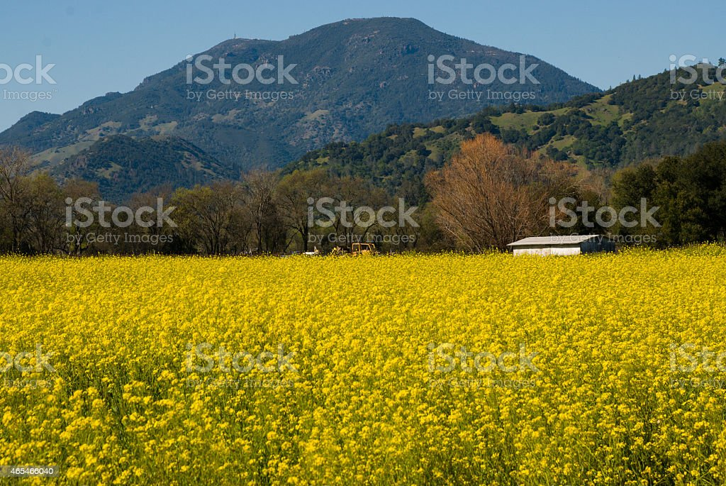 Field Mustard Mount Saint Helena near Calistoga Napa Valley California stock photo