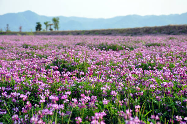 field of alfalfa flowers (also called lucerne) - erba medica foto e immagini stock