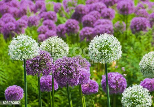 Purple and white Alliums in full bloom in a Maine garden.