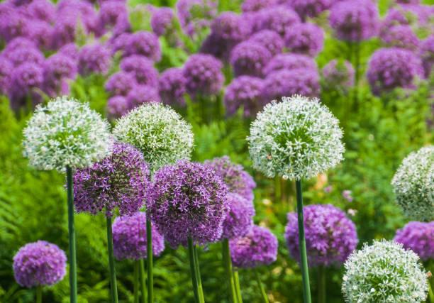 Gebied van Alliums foto