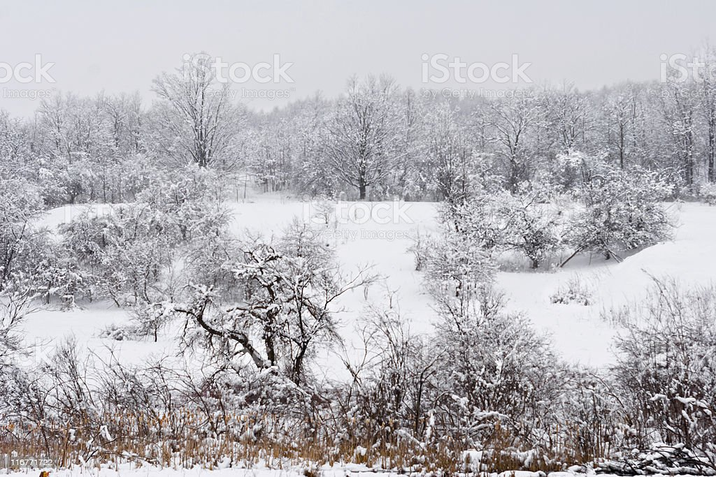 Field of Apple Trees in Spring Snowstorm royalty-free stock photo