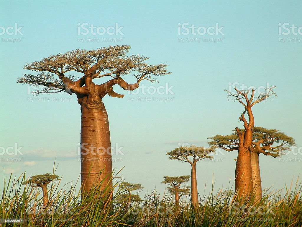 Field of baobabs stock photo