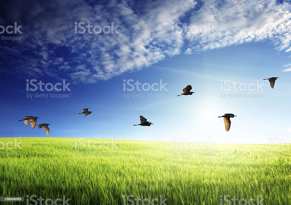 field of barley and flying birds royalty-free stock photo