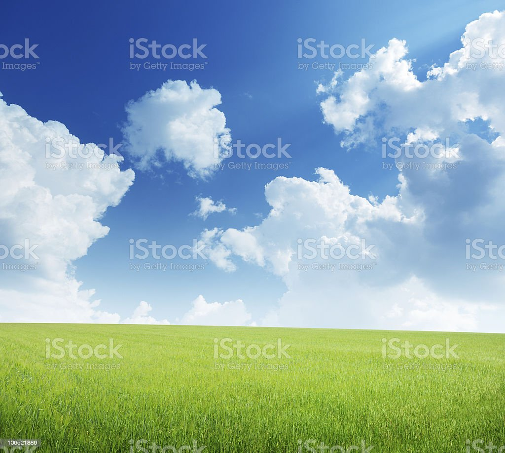 field of barley and sunny day royalty-free stock photo