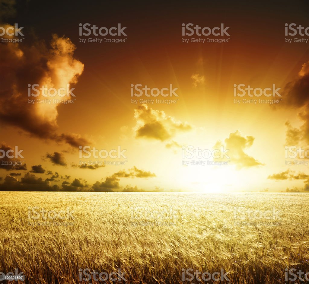 Field of barley and the sunset royalty-free stock photo