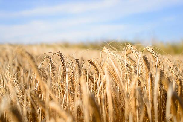 Field of Barley in Black Isle, Scotland stock photo