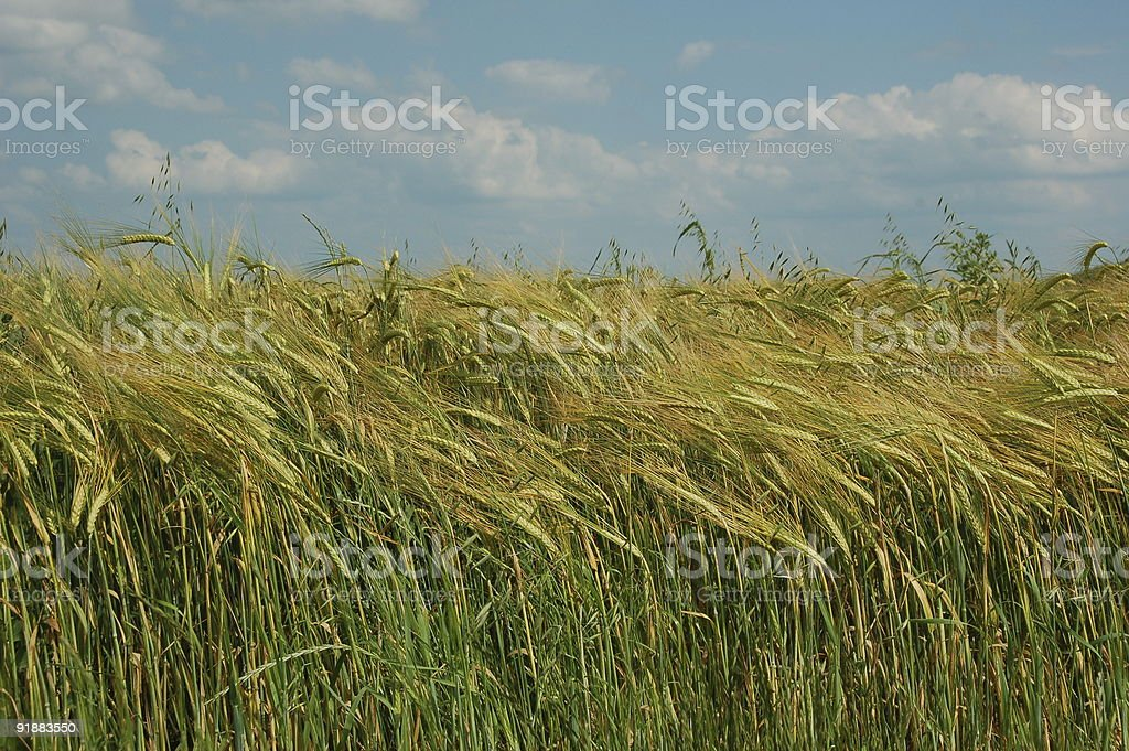 field of barley in the wind royalty-free stock photo