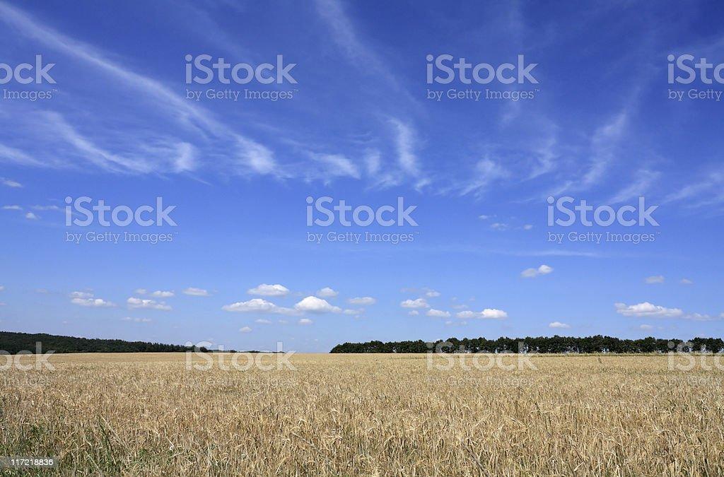 Field of barley. royalty-free stock photo