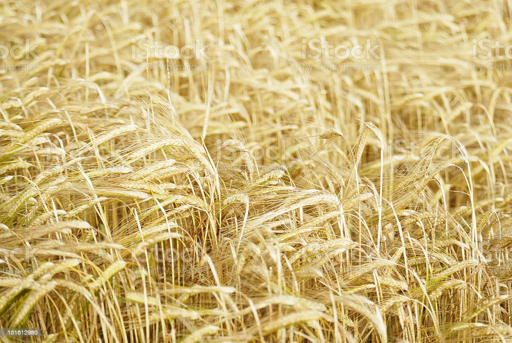 Field of Barley (Hordeum vulgare). royalty-free stock photo