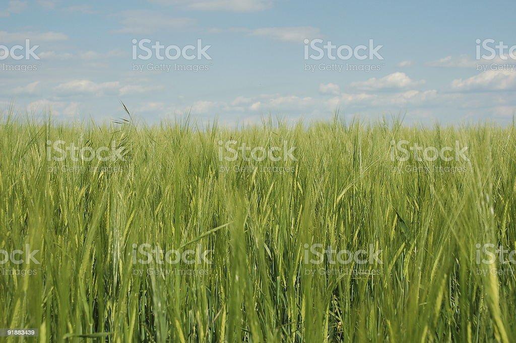 field of barley stock photo