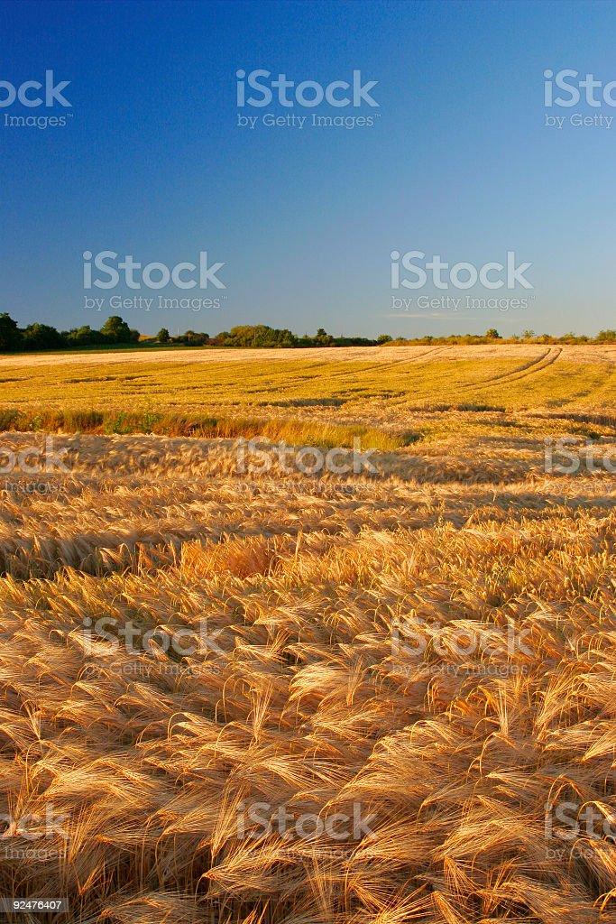 Field of Barley royalty-free stock photo