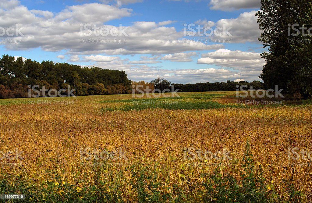 Field of beans royalty-free stock photo
