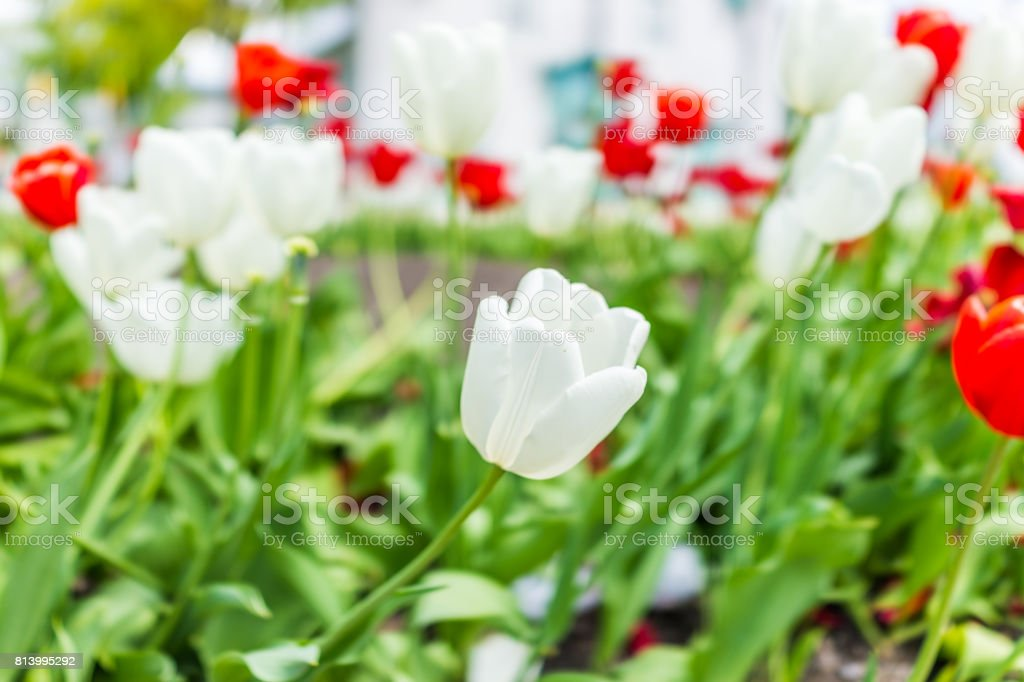 Field of beautiful red and white tulips macro closeup with bokeh in spring or summer stock photo