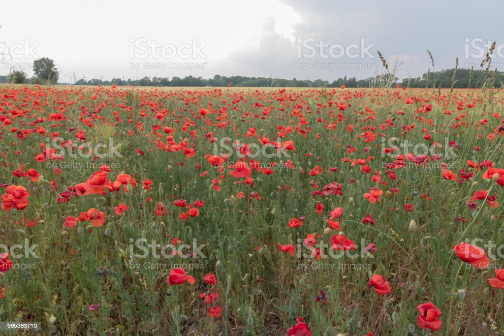 Field of beautiful red poppies in blossom in sunset – zdjęcie
