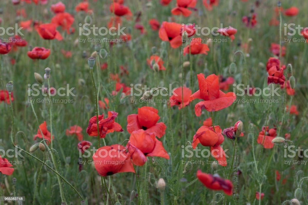 日落時美麗的紅色罌粟花場 - 免版稅光圖庫照片