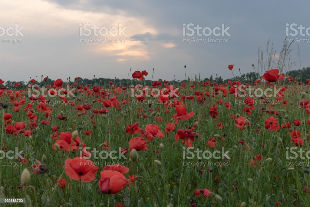 Field of beautiful red poppies in blossom in sunset royalty-free stock photo