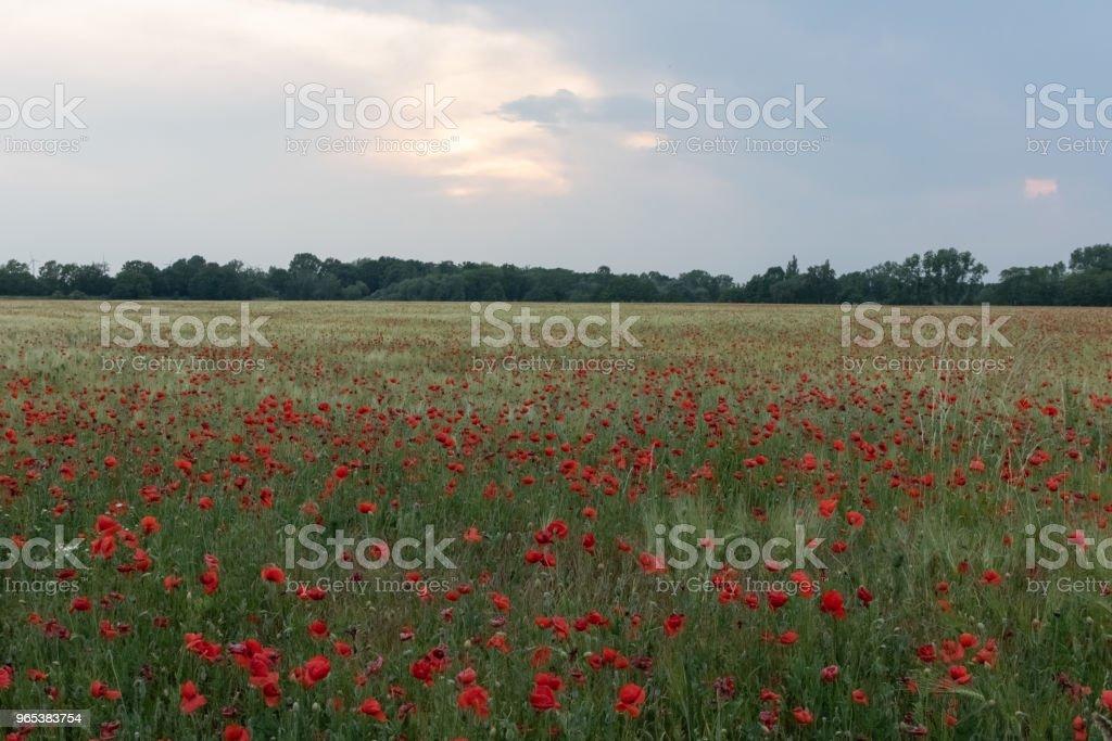 Champ de coquelicots rouges belles en fleurs au coucher du soleil - Photo de Allemagne libre de droits
