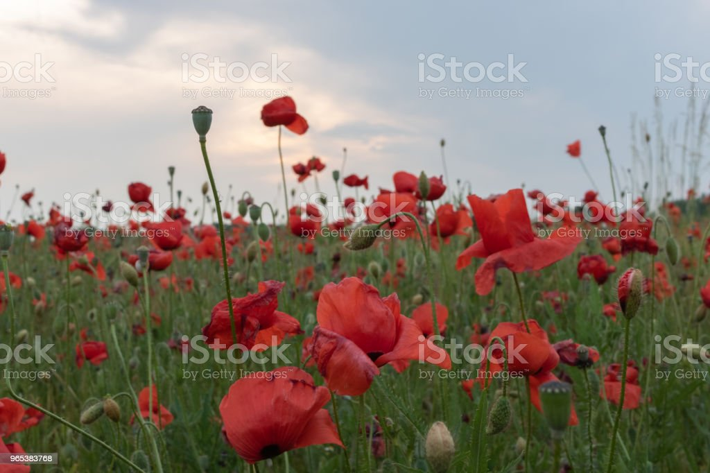 Field of beautiful red poppies in blossom in sunset zbiór zdjęć royalty-free