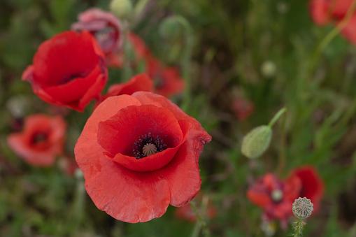 석양에 꽃에는 아름 다운 붉은 양 귀 비의 분야 0명에 대한 스톡 사진 및 기타 이미지