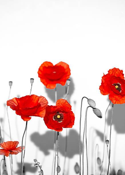 필드 아름다운 붉은 poppies 흰색 바탕에 그림자와 함께 shadow 스톡 사진
