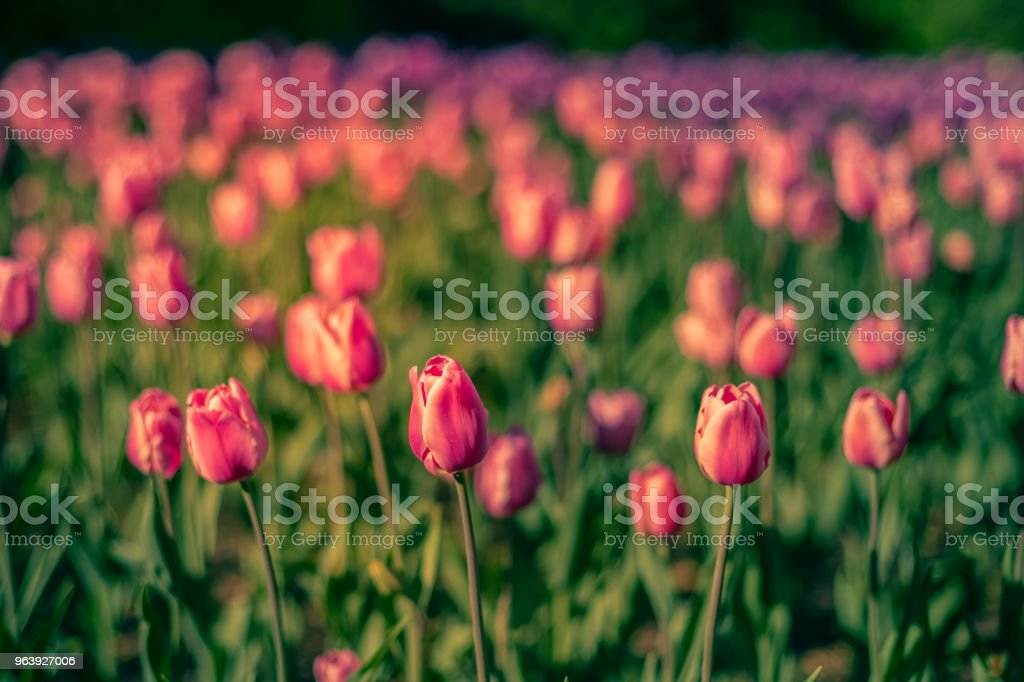 Field of beautiful red puple tulips in the garden on a bright sunny day. - Royalty-free Agricultural Field Stock Photo