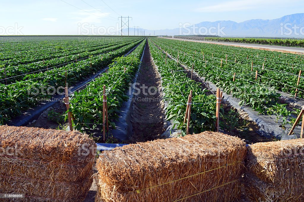 Field of Bell Peppers stock photo