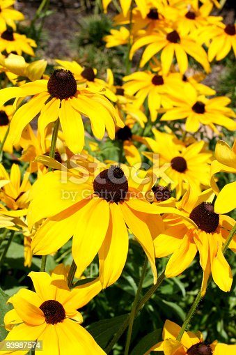 Flower bed of black eyed susans on a sunny day.