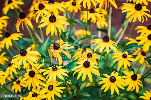 Black-eyed susans in front of a blurred  brick wall background