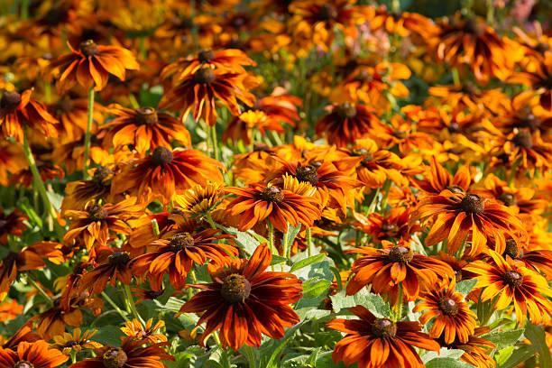 Field of black-eyed-suzan Blüten – Foto
