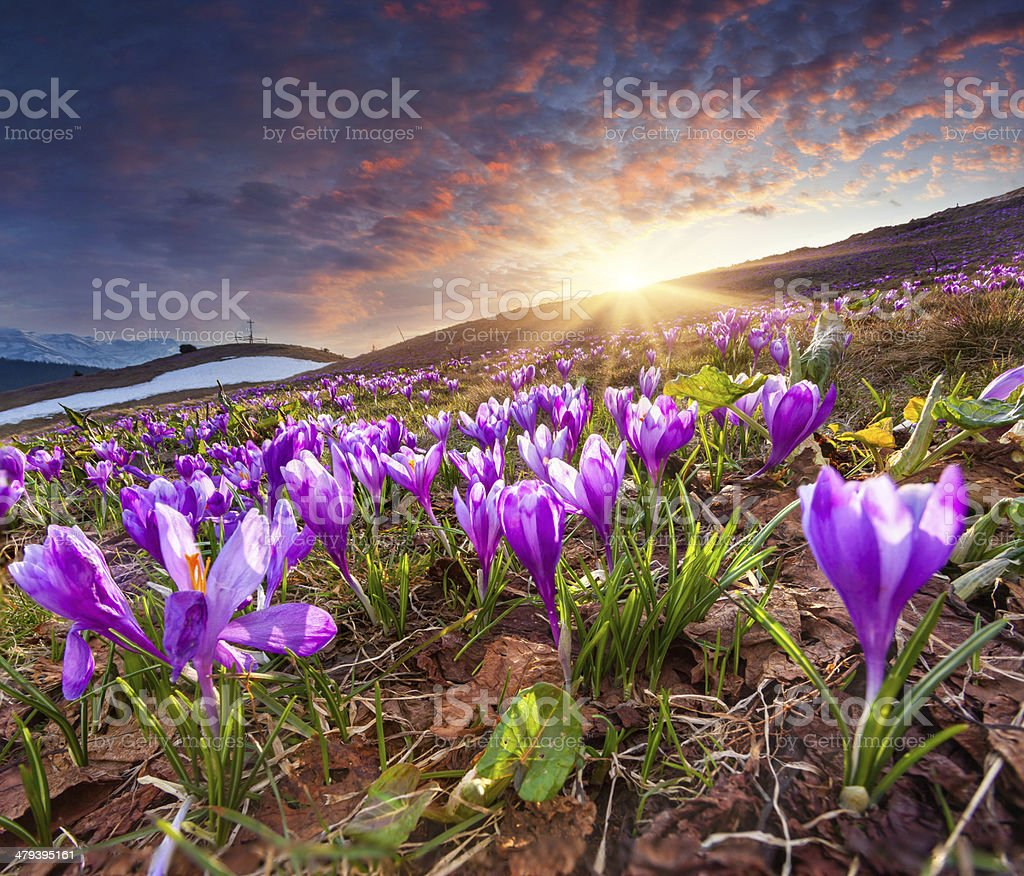 Field of blooming crocuses in the spring in the mountains. stock photo