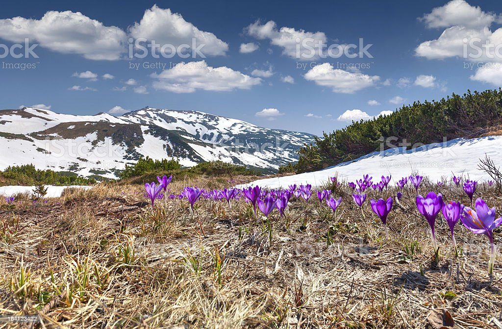Field of blooming crocuses in the spring royalty-free stock photo