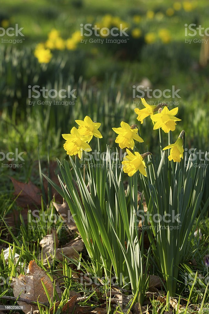 Field of blooming daffodils royalty-free stock photo