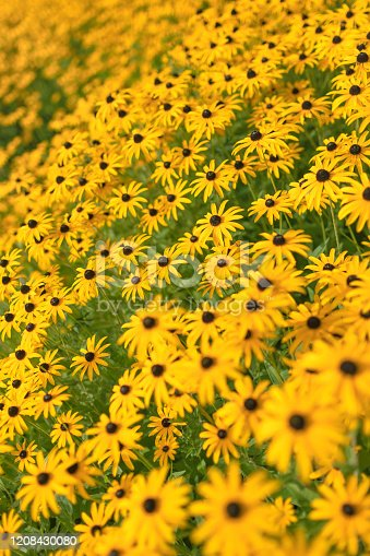 A large flower bed covered with Black-Eyed Susan (Rudbeckia Hirta).