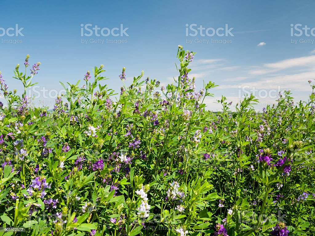 Field of blooming lucerne flowers stock photo