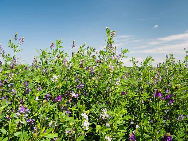field of blooming lucerne flowers - erba medica foto e immagini stock