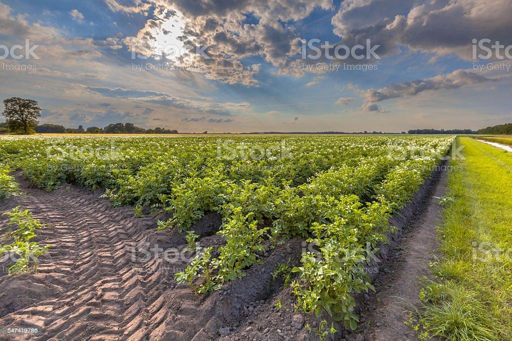 Field of blooming potato stock photo