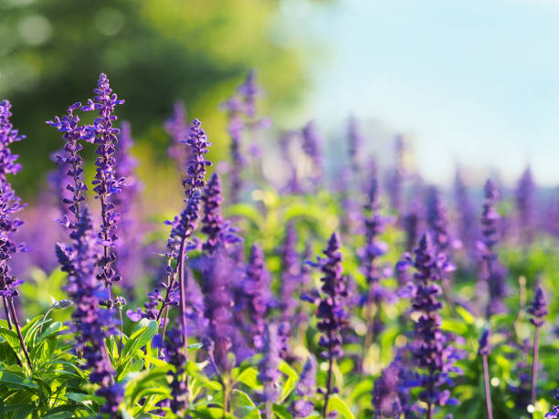 field of blooming sage in bright sunlight against a forest. salvia officinalis or sage, perennial plant,  blue and purplish flowers. lamiaceae - oli, aromi e spezie foto e immagini stock