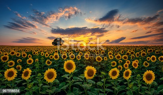 Field of blooming sunflowers and tree on a background sunset.