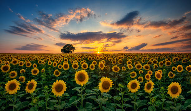 field of blooming sunflowers and tree on a background sunset - sunflower стоковые фото и изображения