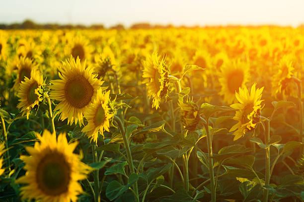 bereich der blühenden sonnenblumen auf einen hintergrund-sonnenuntergang - sonnenblume stock-fotos und bilder