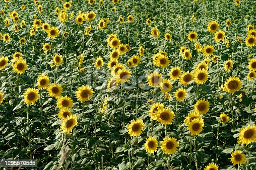 Field of blooming Sunflowers at Sangli State Maharashtra India
