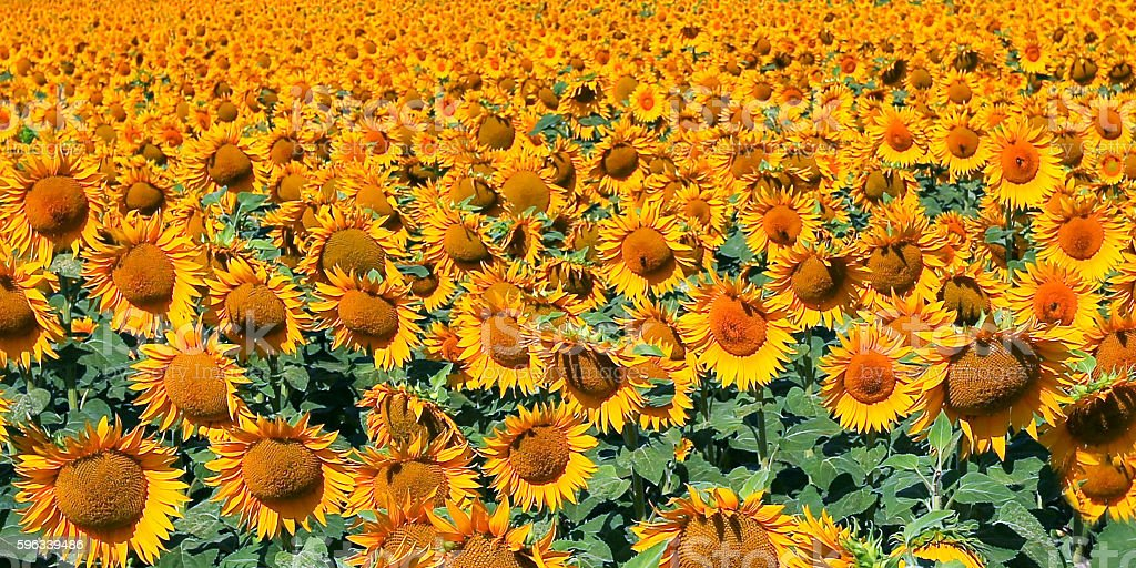 Field of blooming sunflowers. royalty-free stock photo