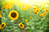 istock Field of blooming sunflowers, summer 1193963290