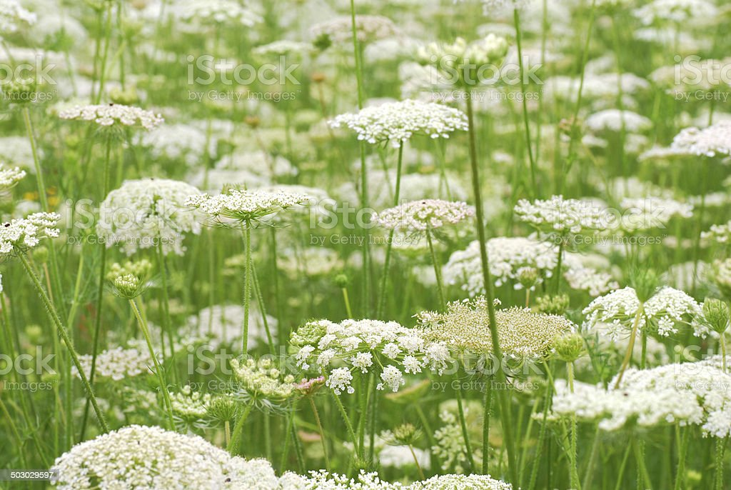 Field of blooming Wild Carrot stock photo