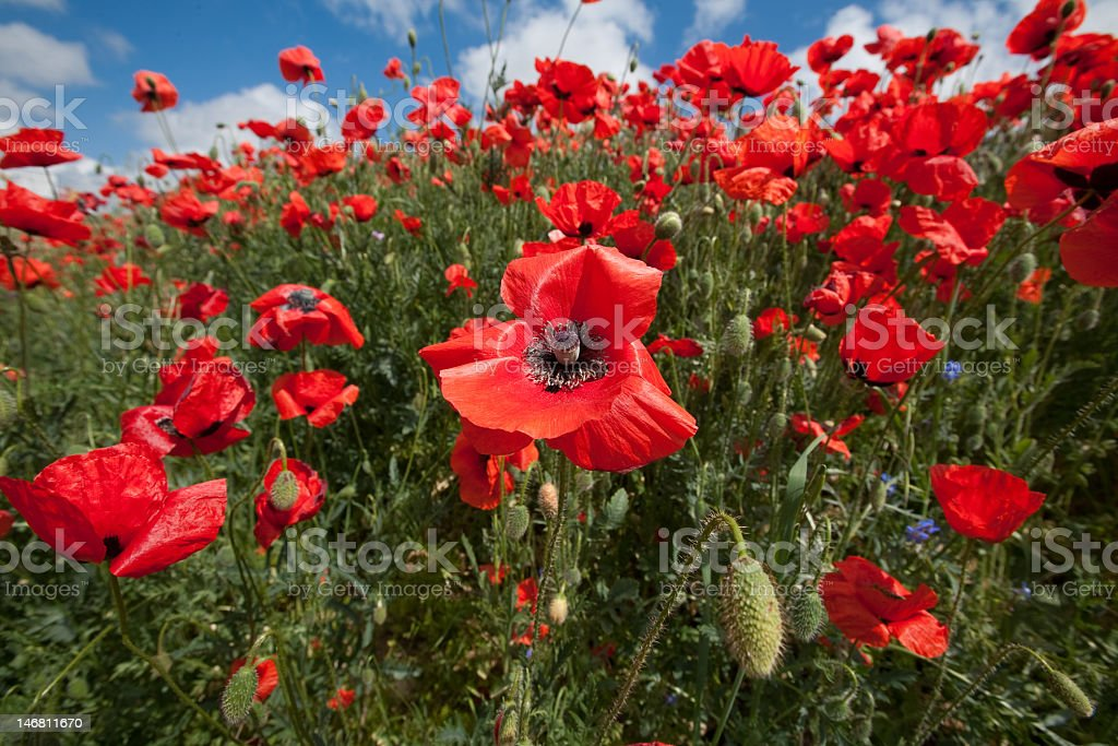 Field of blossoming poppy royalty-free stock photo