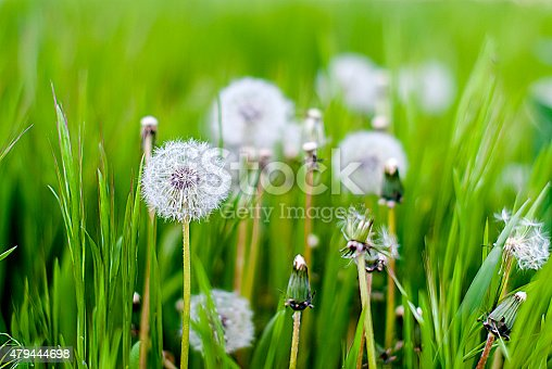 Dandelions field this many white downy flowers and green stems. Background