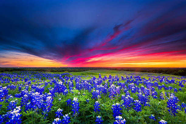 field of blue flowers on sugar ridge road, ennis, texas - bluebonnet stock photos and pictures