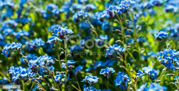 field of blue flowers stock photo more pictures of 2015 istock