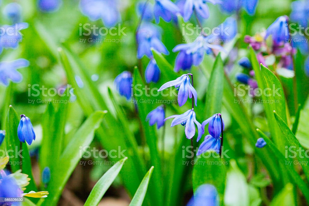 Field of blue (Scilla sibirica)  spring flowers. stock photo