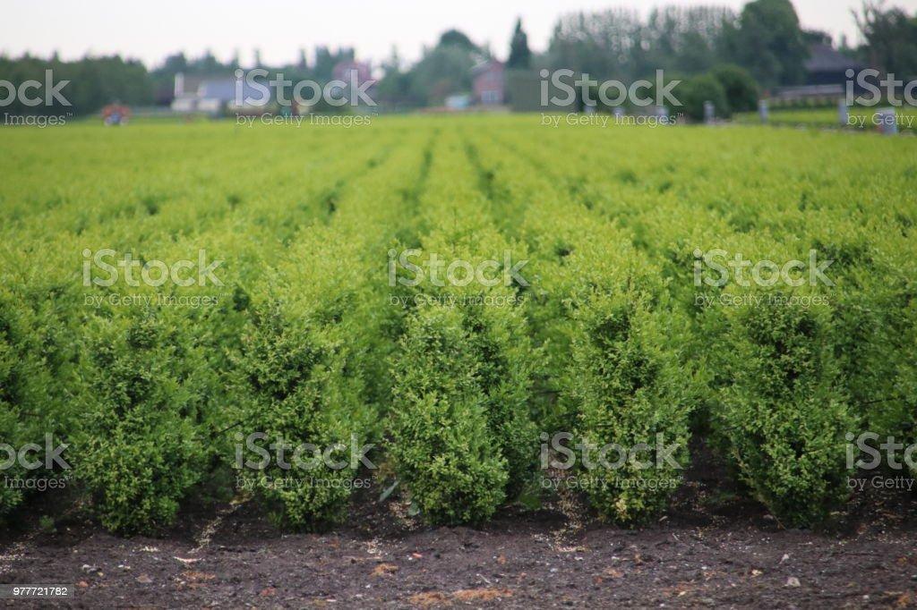 Gebied van buxus planten in rijen bij kwekerij veld in Boskoop in Nederland foto